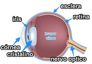 anatomia olho